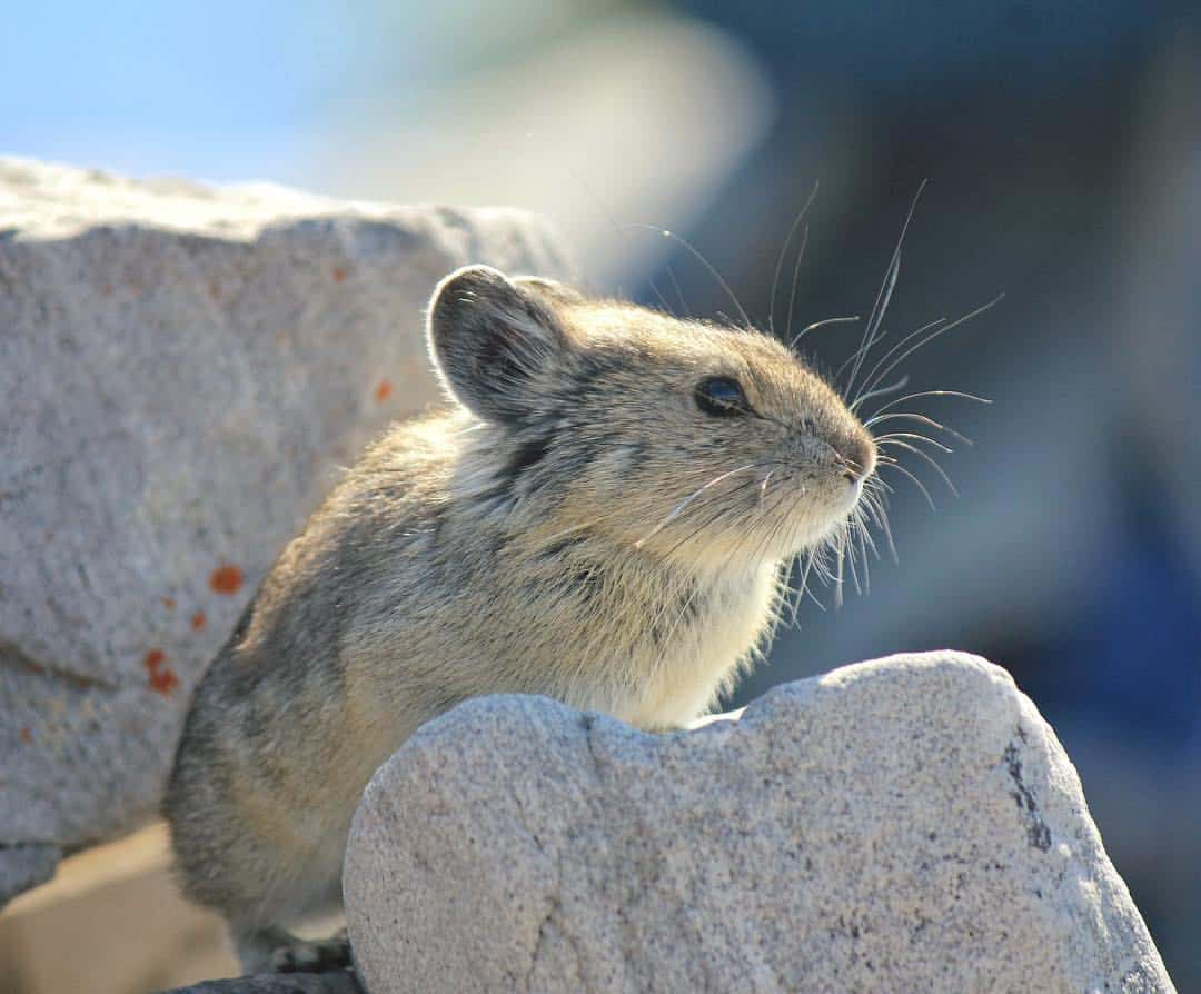 Pika - photo by Dan SK
